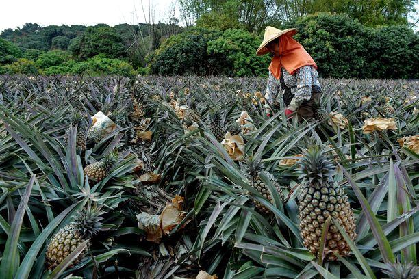 Ananasten poiminta on Thaimaassa siirtotyöläisten hommaa, johon paikalliset eivät hevin ryhdy. Kuvituskuva ei liity tapaukseen.
