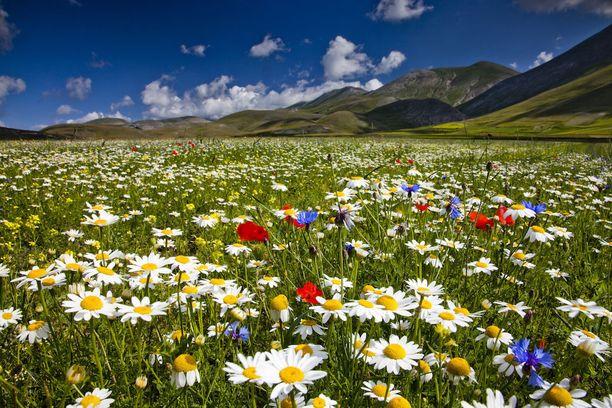 Peltojen väriloisto johtuu luonnonkukista. Eri lajit kukkivat eri vuosina runsaimmin.