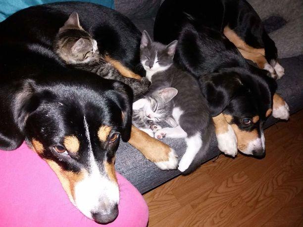 Hirra on toiminut kissanpentujen varaemona aiemminkin. Viime vuoden lopulla Hirra hoivasi raidallista pesuetta.