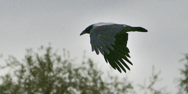 Ärhäkkä varis herättää huomiota Vantaalla. Kuvan lintu ei liity tapaukseen.