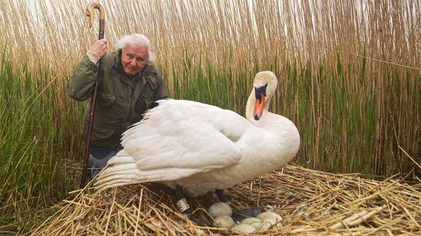 Attenborough vierailee hautovan joutsenen pesän liepeillä.