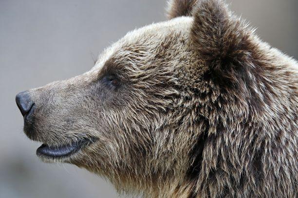 Kuvituskuvan karhu ei liity tapaukseen.
