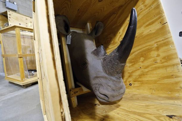 Sarvikuono-trofeen hinta nousee pimeillä markkinoilla kymmeniin tuhansiin euroihin. Kuvituskuva, joka ei ole kyseinen eläimen pää.