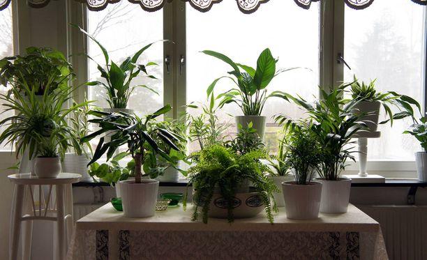 Huonekasvit kannattaa siirtää lomien ajaksi pois ikkunalta.