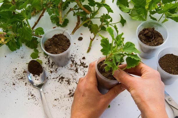 Pistokkaan voi aluksi istuttaa muoviruukkuun ja siirtää suurempaan ruukkuun, kun kasvi on juurtunut.