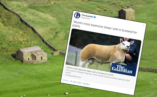 Maailman kallein lammas myytiin yli 400 000 eurolla