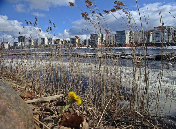 Kevät näkyy jo Joensuussa, jossa leskenlehti oli puskenut maasta esiin maaliskuun lopussa.