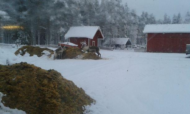 Kuvassa porot temmeltävät Arvon maatilalla.