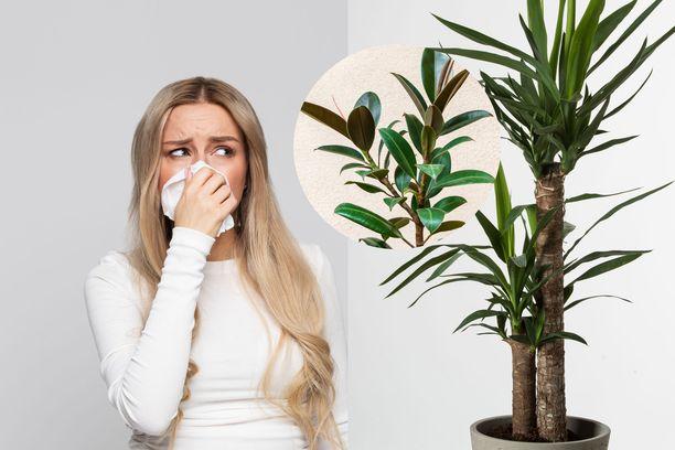 Jos oireilet huonekasveista, suosi kasveja, jotka on lueteltu jutun lopussa.