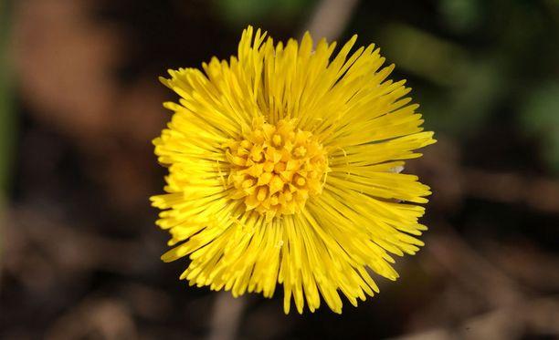 Luonto-liiton kevätseurantaan on jo tullut havaintoja kukkivista leskenlehdistä.