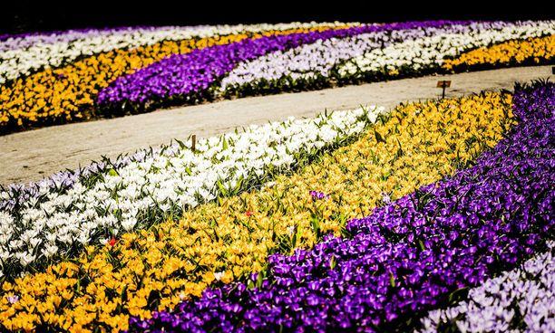 Keukenhofin väriloistoa. Tänä vuonna kukkaistutusten teemana on hollantilainen design.