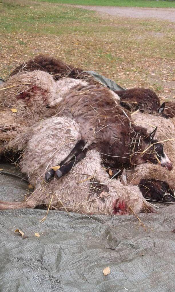 Ohikulkijan antamat omenat koituivat 26 lampaan kohtaloksi.