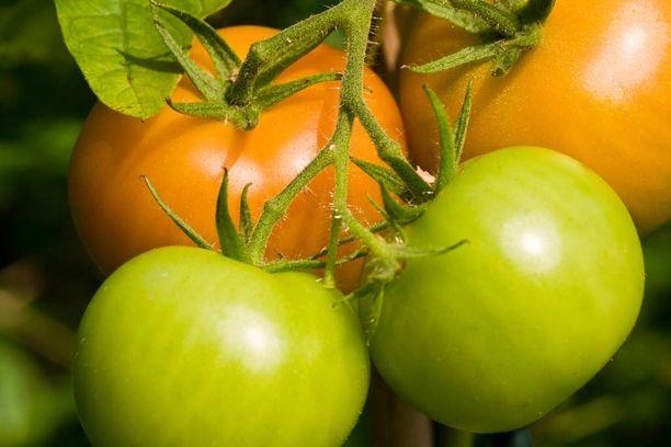 Tomaatti kannattaa syödä vasta silloin, kun se on varmasti tarpeeksi kypsä. MOSTPHOTOS