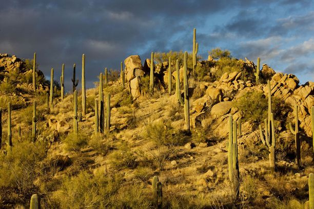 Sonaran aavikolla kasvaa paljon kaktuksia.
