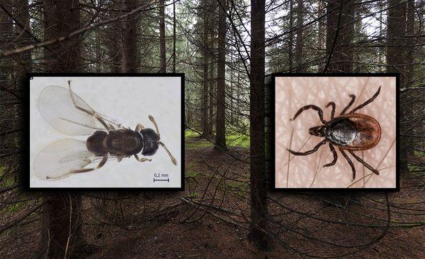 Suomessakin esiintyvä pistiäinen tappaa punkkeja ja voi auttaa kannan leviämisen hillitsemisessä. Ixodiphagus hookeri vasemmalla, puutiainen oikealla.