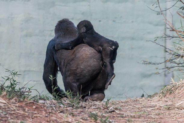 Suloinen pikkugorilla siirtyy paikasta toiseen turvallisesti emonsa selässä.