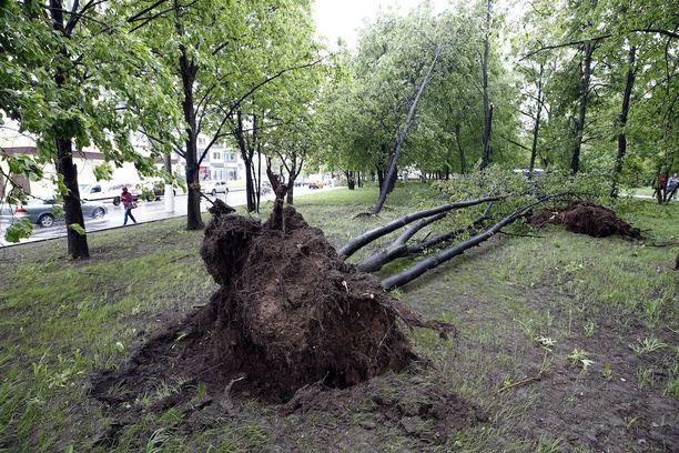 Satoja puita kaatui tänään Moskovassa.