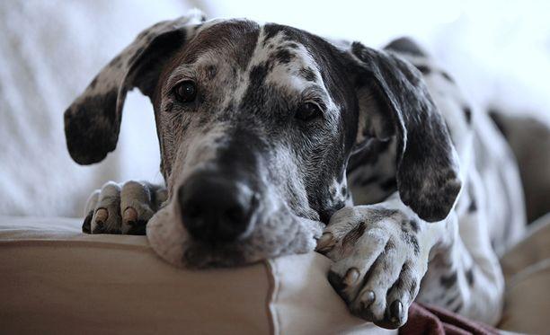 Oikeus päätti, että nainen sai kahden päivän sairausloman koiran sairauden vuoksi.