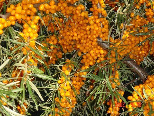 Tyrni on erityisesti rannikkoseutujen kasvi.