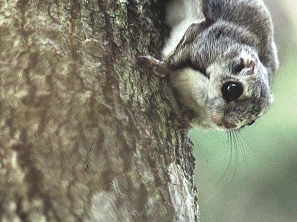 Liito-oravan pesäkameran välityksellä pääsee nautiskelemaan myös kainuulaisen metsän lintujen laulusta. Kuvituskuva.