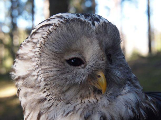 Viirupöllönaaras on usein ärhäkkä pesää puolustaessaan. Arkistokuva.