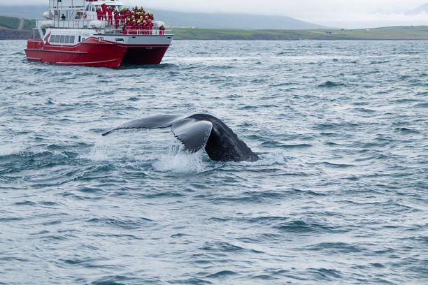 Valasturismi on kasvanut huimaa vauhtia Islannissa. Se on myös yksi syy valaanpyynnin mahdolliseen loppumiseen. Kuva Akureyristä Pohjois-Islannissa.
