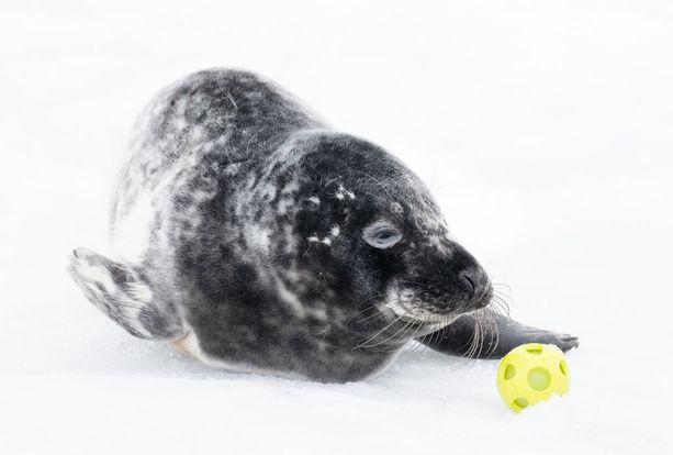 Hallin eli harmaahylkeen kuutti tökki koiran palloa Helsingissä.