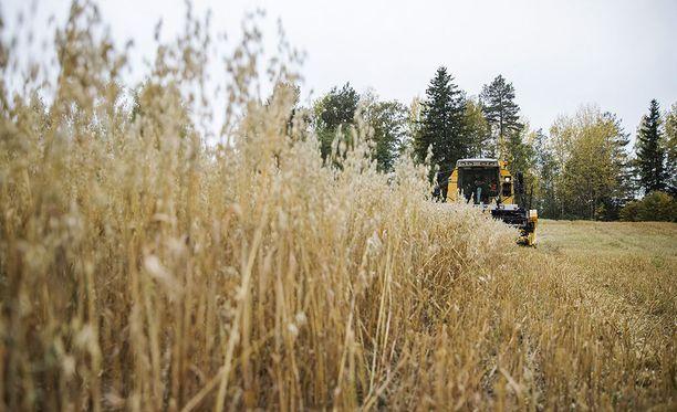 Viljelykasvien kasvun ja kehityksen arvioidaan olevan Etelä-Suomessa kaksi viikkoa ja muualla maassa 7-10 vuorokautta edellä keskimääräisestä. Viime syyskuussa otettu kuva on Ylöjärveltä.