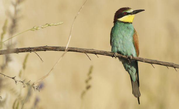 Mehiläissyöjä (Merops apiaster) Parikkalassa oli tornien taiston harvinaisin laji. Kuvan lintu on kuvattu Serbiassa.