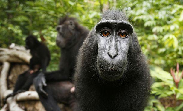 Slater vietti viidakossa useita päiviä ja tutustui apinoihin pikku hiljaa.