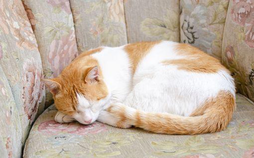 """Kissoilla on oma """"älä häiritse"""" -asentonsa - tiedätkö mikä se on?"""