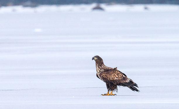 Merikotka kuoli jouluaattona lintuinfluenssaan Harjavallassa.