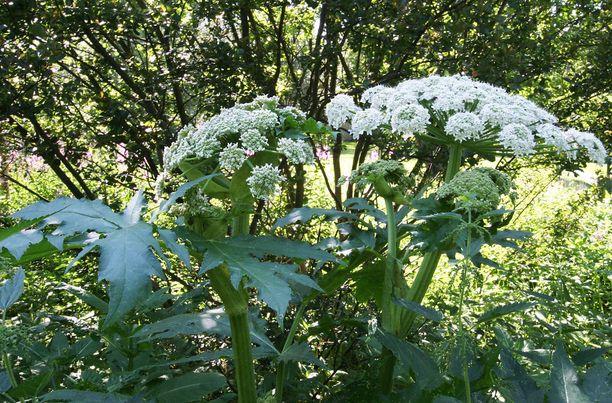 Monet putkikasvit voivat aiheuttaa ihoreaktioita.