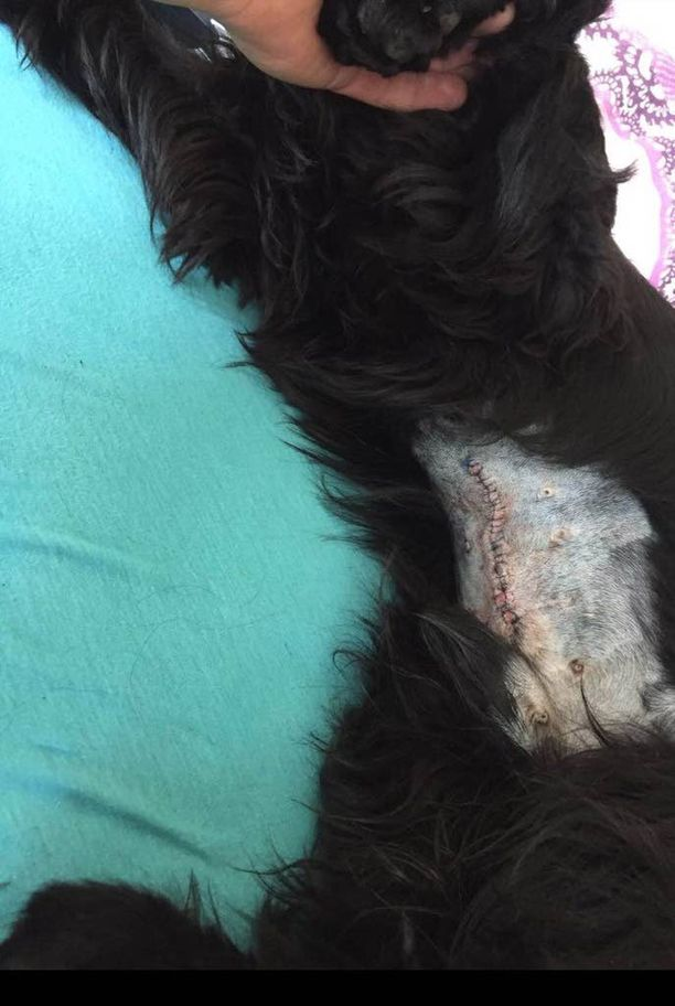 Masan vatsa leikattiin auki, ja Jenna Kahila on laksenut siinä näkyvän 20 tikkiä. Koira tykkää leikkiä ja peuhata ulkona, mutta nyt Kahilan pitää rajoittaa sen liikkumista.