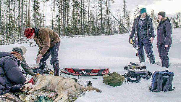 Anders Lundin tutkijaseurueineen pannoittaa nuoren urossuden Taalainmaalla.