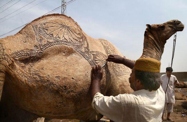Saudi-Arabiassa paljastui kamelin kauneusleikkausskandaali. Kuvituskuva.