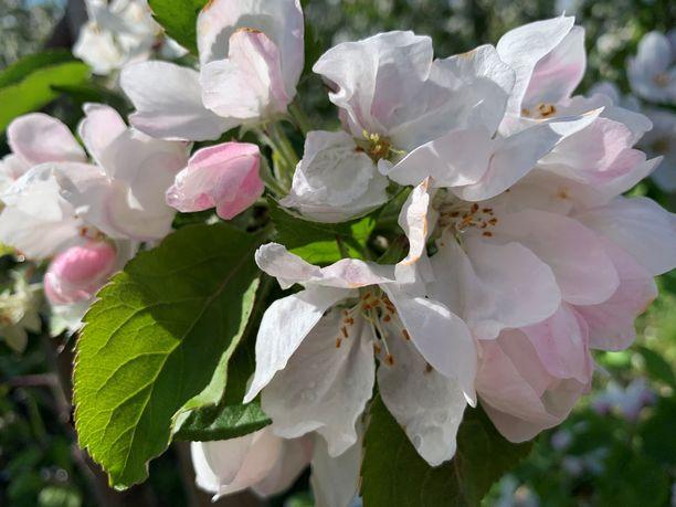 Omenankukissa on herkkää kauneutta.