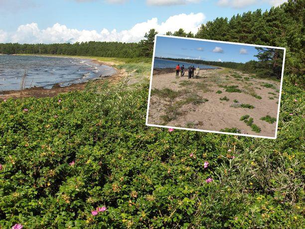 Hangon Furuvikin rantaa on raivattu kurtturuusuista talvesta 2008-2009 lähtien. Kuva, jossa hiekka jo näkyy on ensimmäistä raivausta seuraavalta kesältä.
