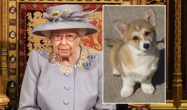 Kuningatar Elisabetin koiranpentu Fergus kuoli yllättäen. Kuvan koira ei ole Fergus, mutta kyseessä on samanikäinen koira.