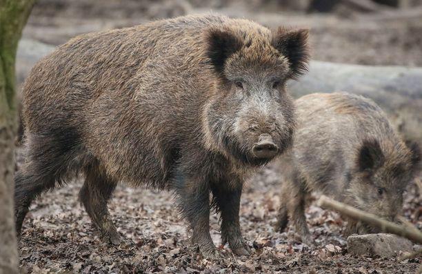 Sikaruton leviämistä Suomeen pidetään erittäin suurena uhkana Suomen sikataloudelle ja sianlihan viennille, kertoo Lännen Media. Kuvituskuva villisiasta.