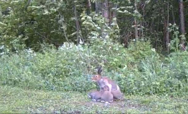 Emo imetti poikasiaan kesämökin pihalla monena yönä samaan aikaan.