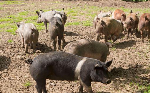 Siat söivät maanviljelijän Puolassa - vain luut löydettiin