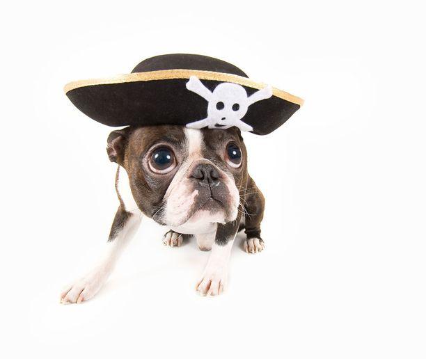 Vaatteet voivat tehdä koirien eleiden tulkinnasta tavallista hankalampaa. Koirista näkee selvästi, mitä mieltä ne kostyymeistään ovat. Tämä koria toivoisi pääsevänsä päähineestä eroon.