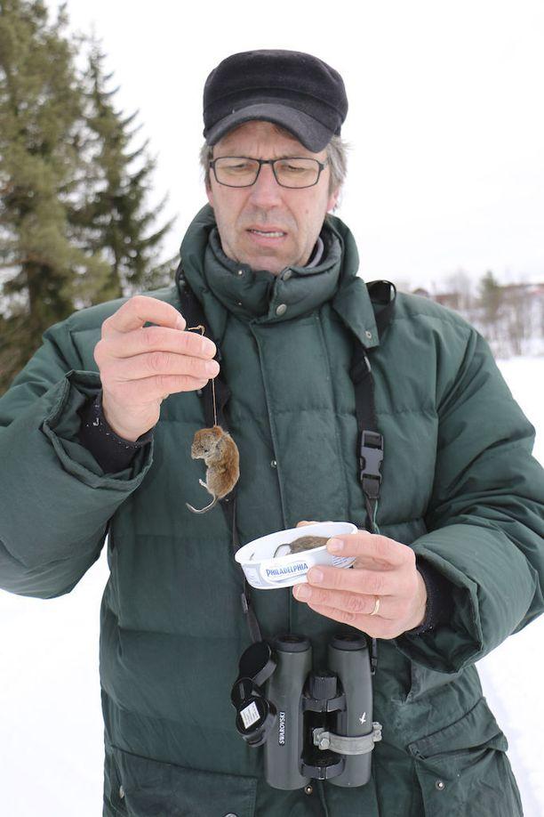 Kolmen hyvän myyrävuoden jälkeen Kuusamossa on nyt vähän myyriä. Petolintujen ruuat on nyt otettava pakastimesta.