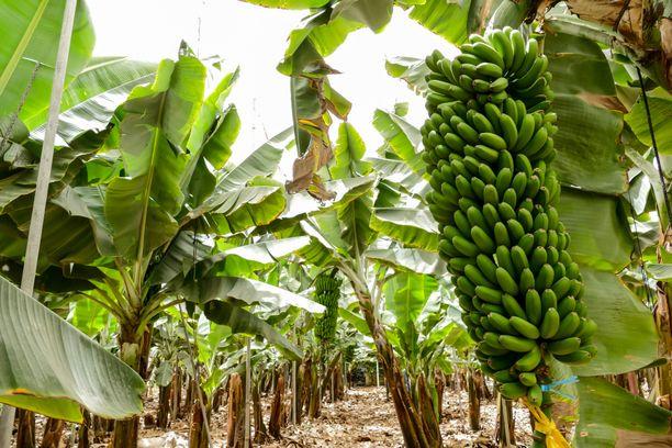 Banaania viljelevät maat ovat taloudellisesti riippuvaisia tuotteesta.