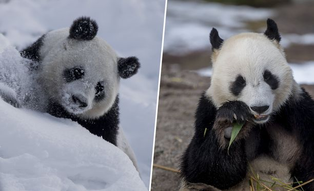 Lumi ja Pyry muuttivat Ähtäriin Kiinasta vuonna 2018. Pandat on vuokrattu Ähtäriin 15 vuoden sopimuksella.