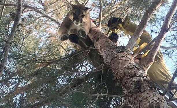 Puuma oli kiivennyt takapihan puuhun noin 15 metrin korkeuteen. Toki se olisi itsekin sieltä päässyt alas, mutta eläintä ei uskallettu jättää lähelle ihmisasumuksia.