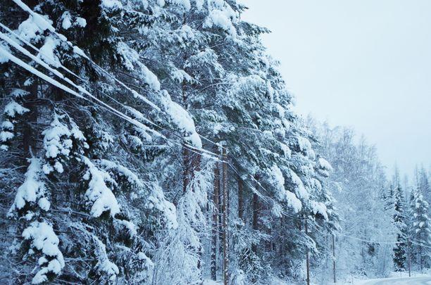 Lumipyry ja tuuli yhdessä voivat painaa puita helposti sähkölinjojen päälle. Arkistokuva.