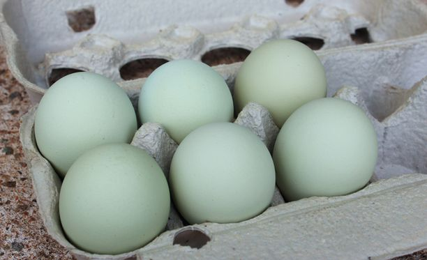 Tällaisia munia Heljasvaaran Veera-kana pyöräyttää yhden päivässä.