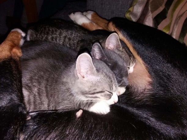 Talvella Hirran hoitoon päätyneet pennut saivat koirasta lämpimän unipaikan.